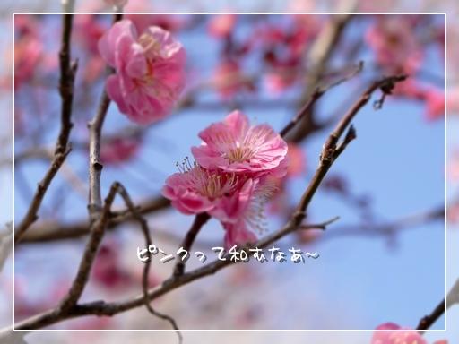 ピンクもえ.jpg